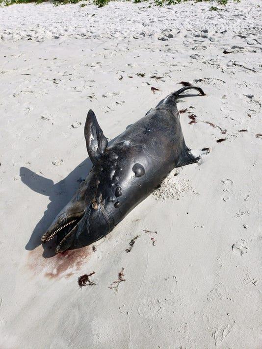 JUMP Dead dolphin