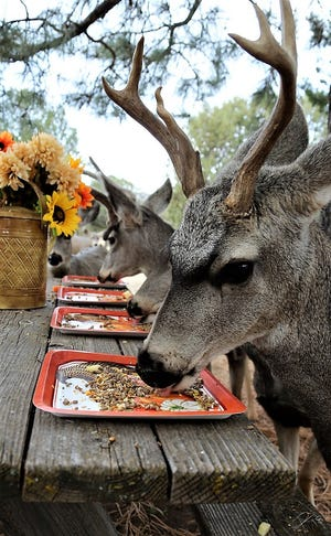 Showing good table manners, bucks take their turns at Thanksgiving plates of treats at a ranch north of Ruidoso. Wild turkeys also came by for a few pecks of seed.