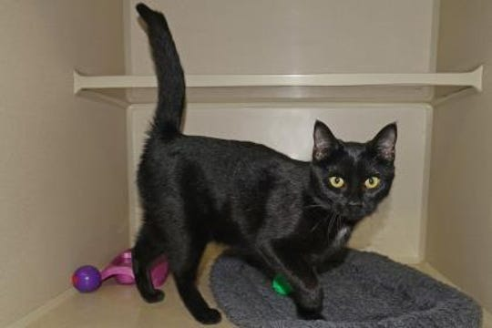 Akira is a 5-month-old domestic short haired female with golden eyes and a very social attitude.