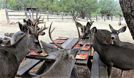Mule deer bucks and does share a holiday table.