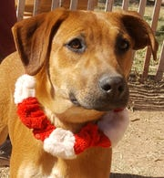 Rezque Dawn is a handsome adoptable puppy.