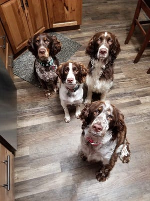 Four of the Fields' family's English springer spaniels were trained by Wendy MacKenzie. MacKenzie is in the running for the 2018 Greatmats National Dog Trainer of the Year award.