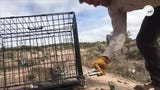 A young bobcat growled at conservation officers who were trying to relocate the animal after he was caught eating chickens in Kanarraville, Utah.