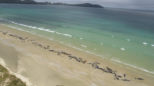 Epa New Zealand Pilot Whale Beached Env Conservation Nzl