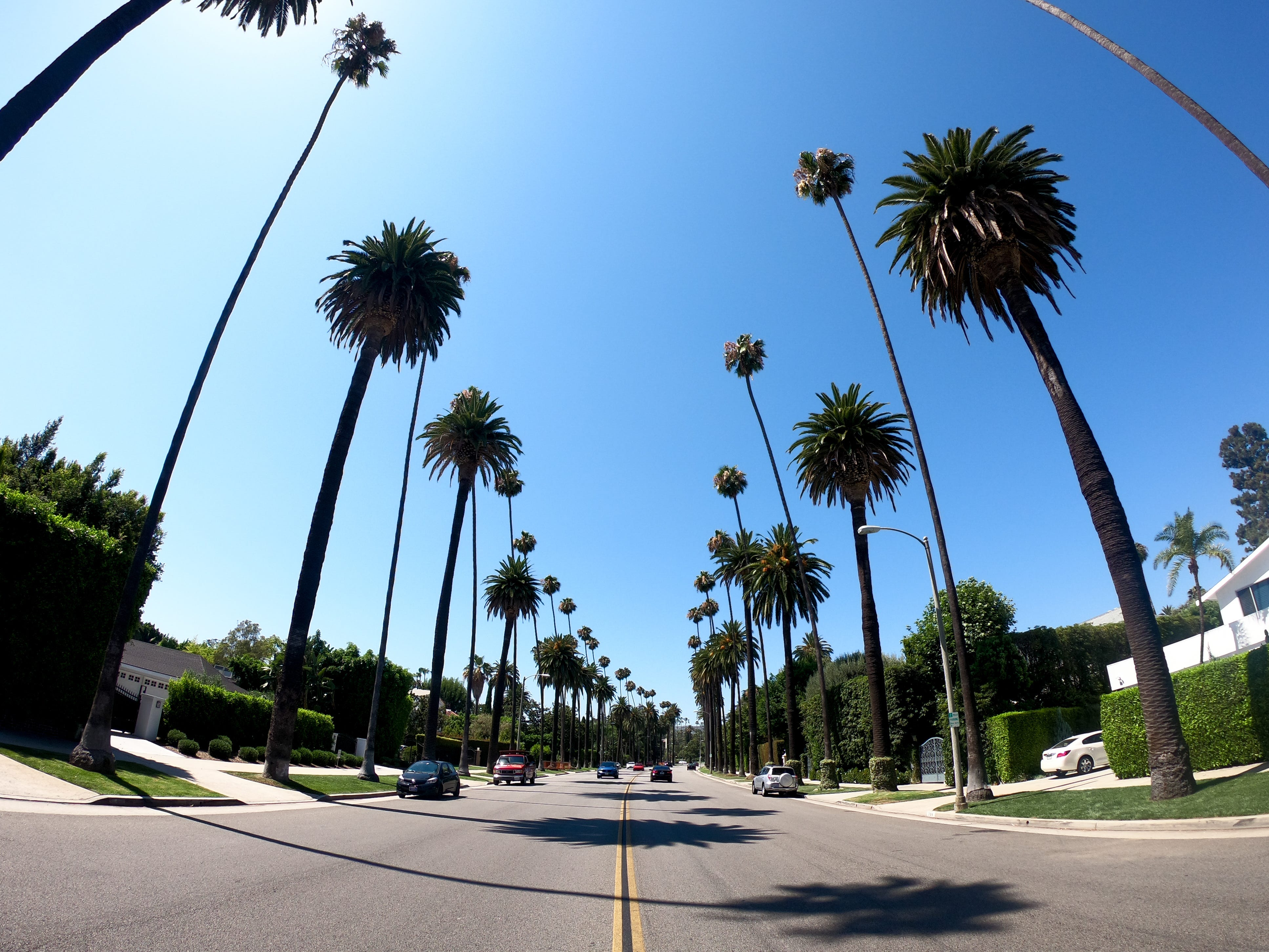 Huge palm trees in Beverly Hills