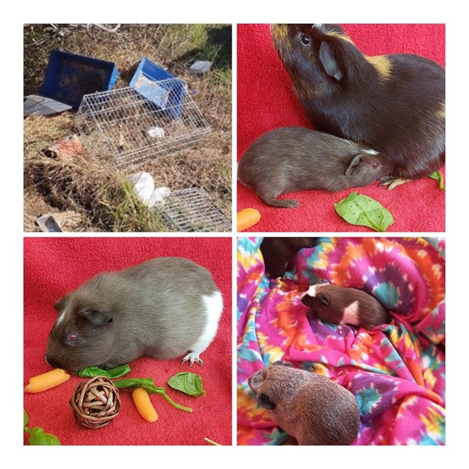 Six guinea pigs were rescued after being abandoned near Eau Gallie Boulevard in Melbourne. The sheriff's office is offering a reward leading to the person responsible.