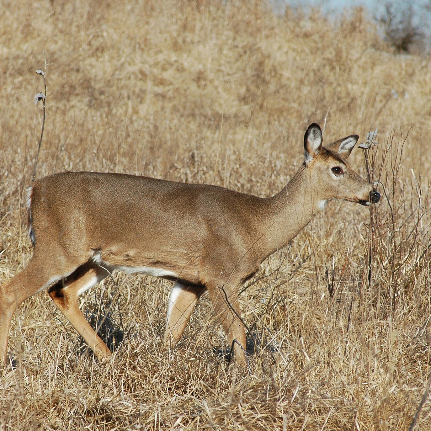 Arkansas hunters stepping up to provide samples for deer disease
