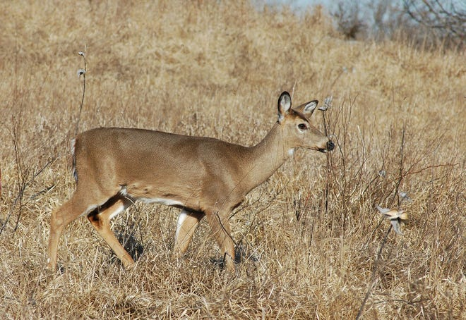 Arkansas hunters have provided over 5,000 samples for the Arkansas Game and Fish Commission this year to help monitor the spread of Chronic Wasting Disease in the state.