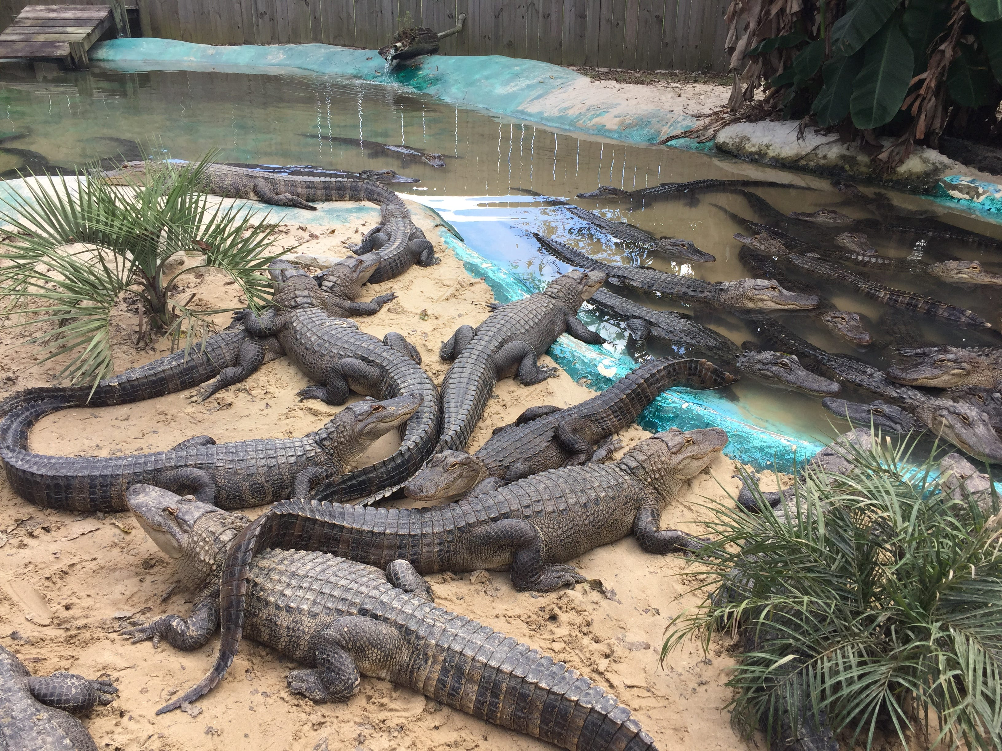 Alligators fill an exhibit at Alligator Alley in Summerdale, Ala., where more than 450 alligators reside.