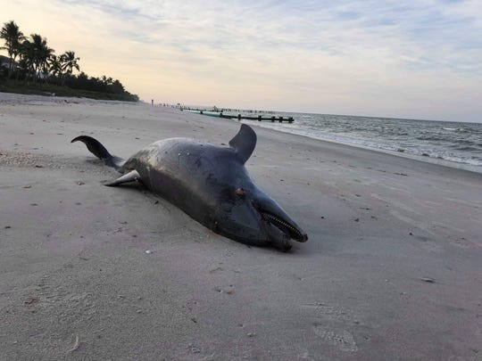 A dead dolphin lies on the beach south of the Naples Beach Hotel & Golf Club close to Central Avenue in Naples on the morning of Nov. 26, 2018.