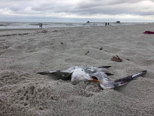 A dead bird lies on a Naples beach south of the Pier on Tuesday, Nov. 27, 2018.