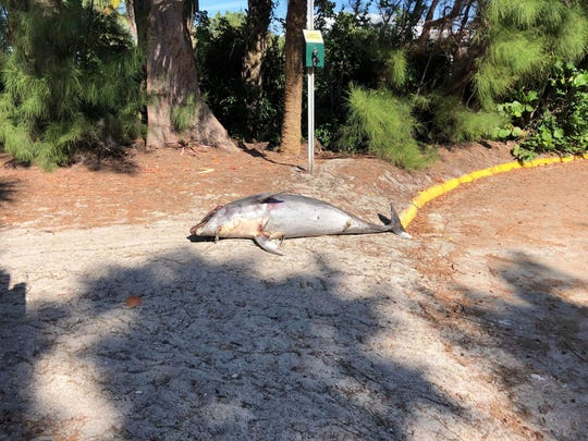 A dead dolphin lies near the entrance of the City of Naples Beach on First Avenue North on the morning of Monday, Nov. 26, 2018.