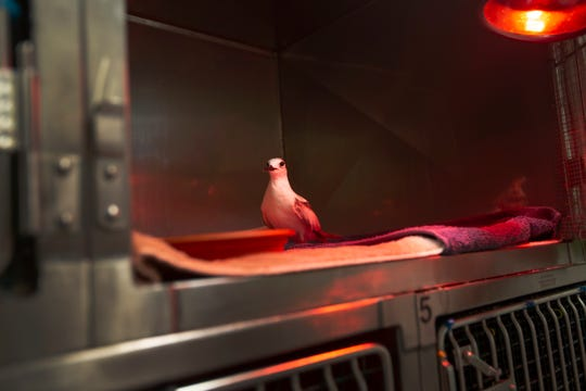A common tern, recently rescued from Marco Island, is kept warm with a heat lamp while resting in its cage at the von Arx Wildlife Hospital on Tuesday, Nov. 27, 2018, in Naples.