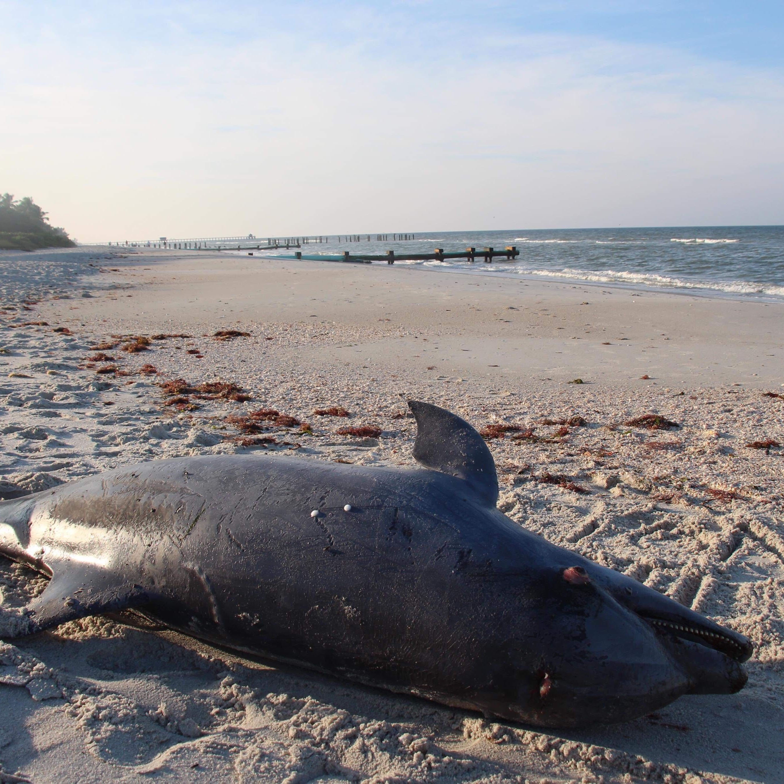 Eight more dolphins found stranded in Lee County