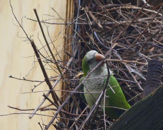 Ridgefield_monkparakeet