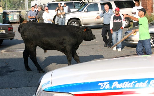 From 09/28/09  BULL LOOSE  :  A bull ran loose along E 7th St. in Paterson when it escaped from Ena Meat Packing.  Paterson Police and Animal Control were on the scene.