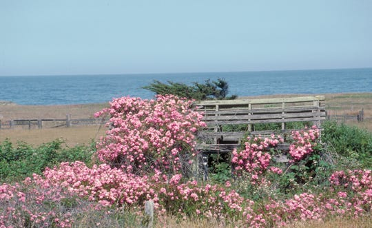 A thicket of blackberries and roses naturalized on the California coast.