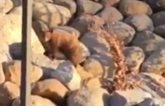 Truckee bear cub rescue