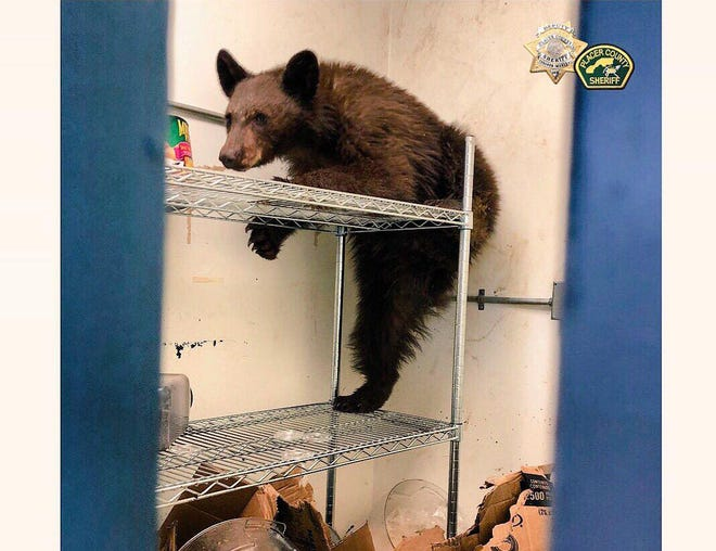 A hungry bear got its own Thanksgiving dinner last week at Rideout Elementary School near Tahoe City, Calif. The bear broke into the school and feasted on red pepper and cocoa in the pantry. North Tahoe fire crews got the cub out unharmed.