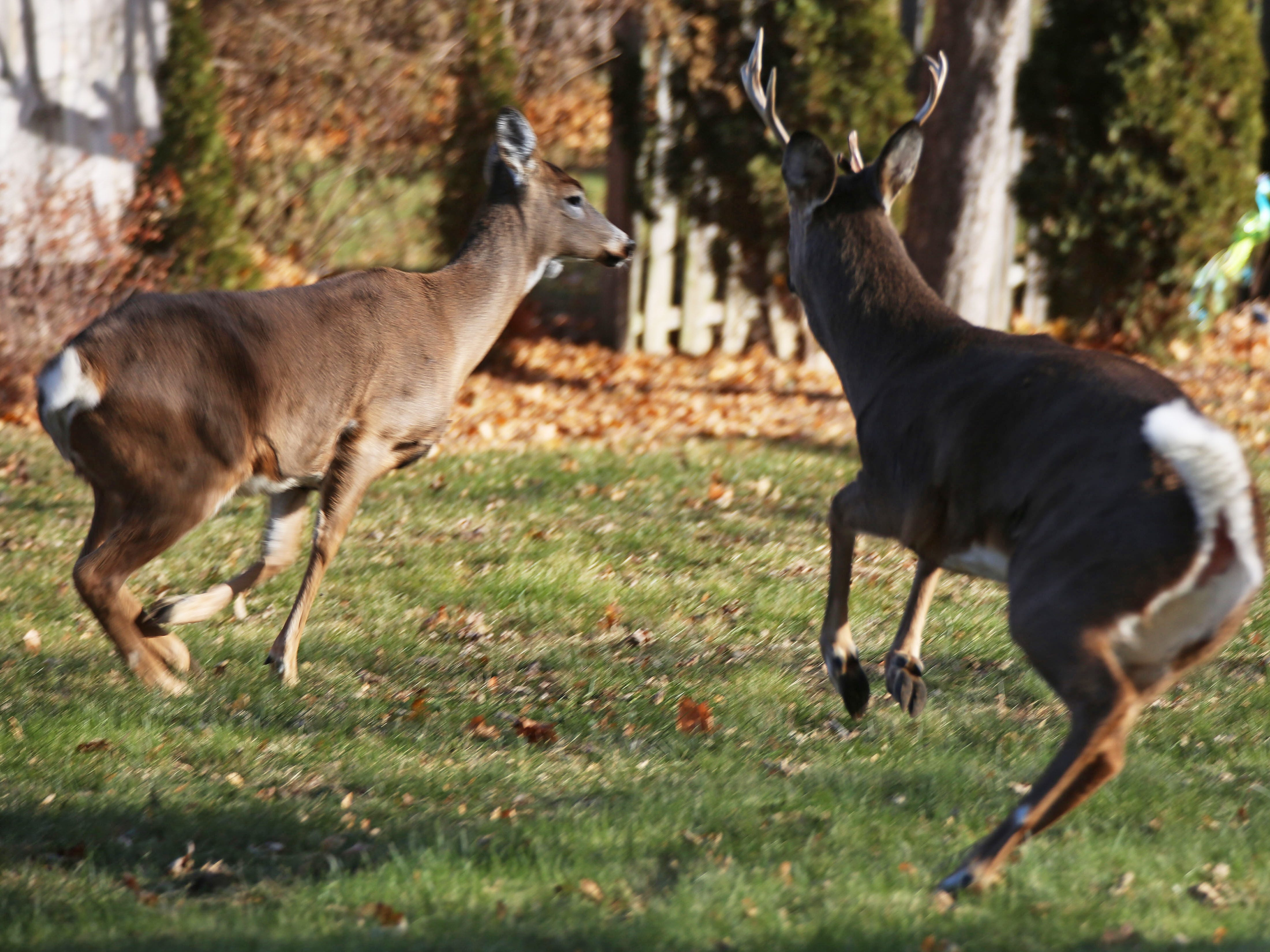 Deer prepare to leave backyards in the 1000 block of North 23rd Street in Sheboygan, Tuesday, November 27, 2018 in Sheboygan, Wis.