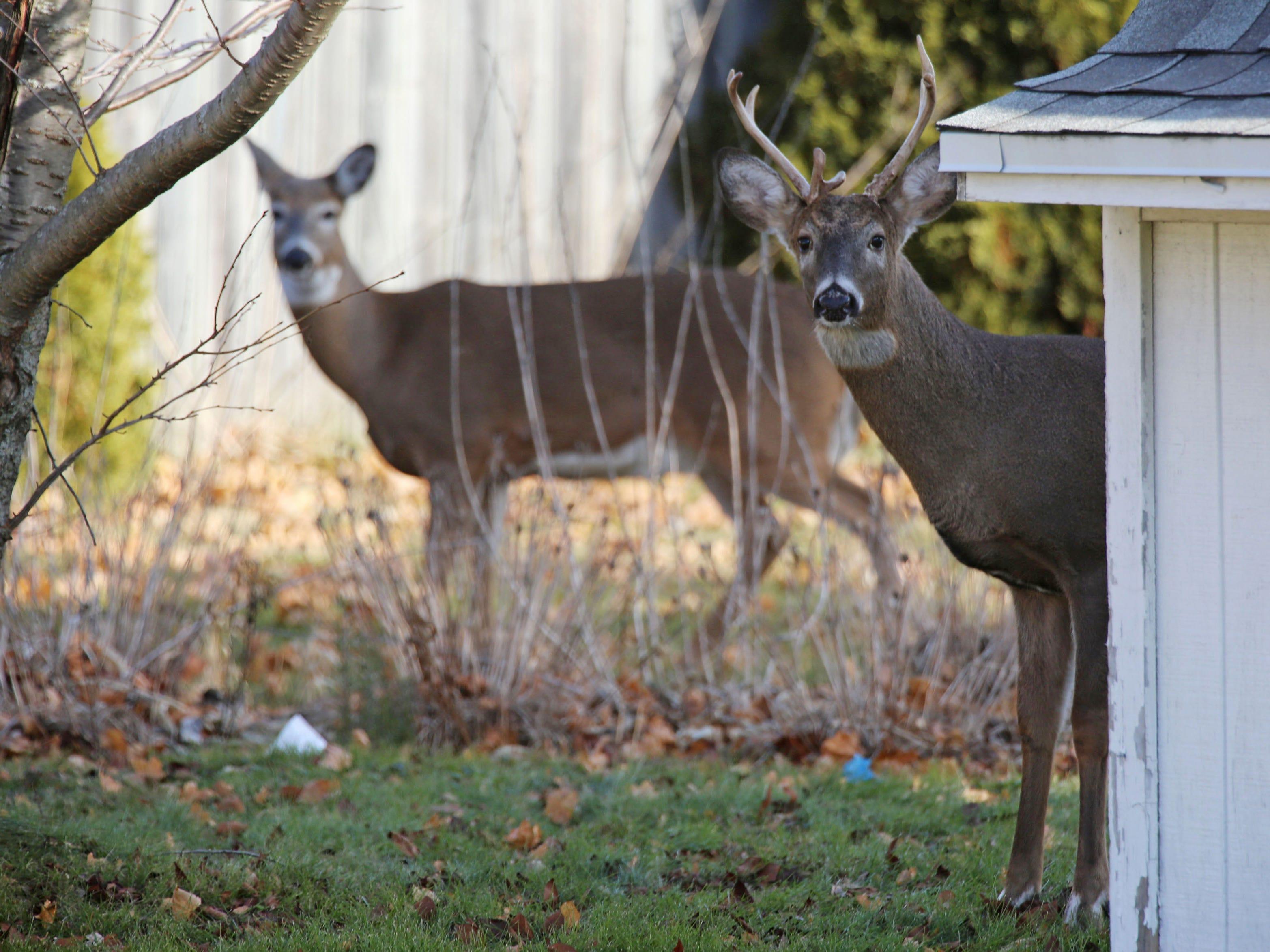 Deer poke around in backyards in the 1000 block of North 23rd Street in Sheboygan, Tuesday, November 27, 2018 in Sheboygan, Wis.
