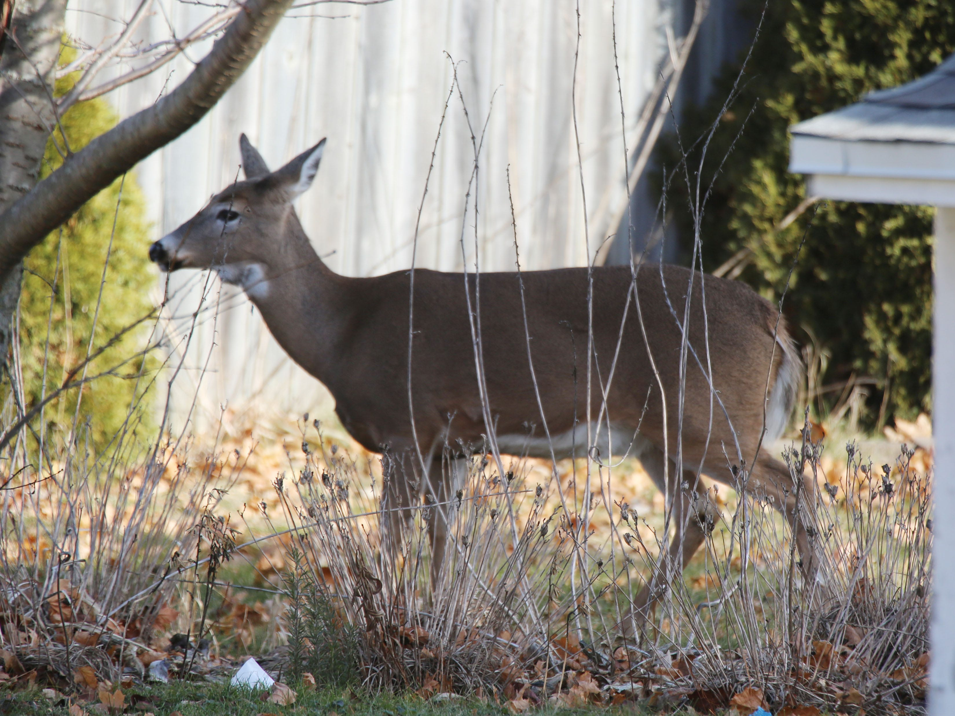 A deer pokes around in a backyard in the 1000 block of North 23rd Street in Sheboygan, Tuesday, November 27, 2018 in Sheboygan, Wis.