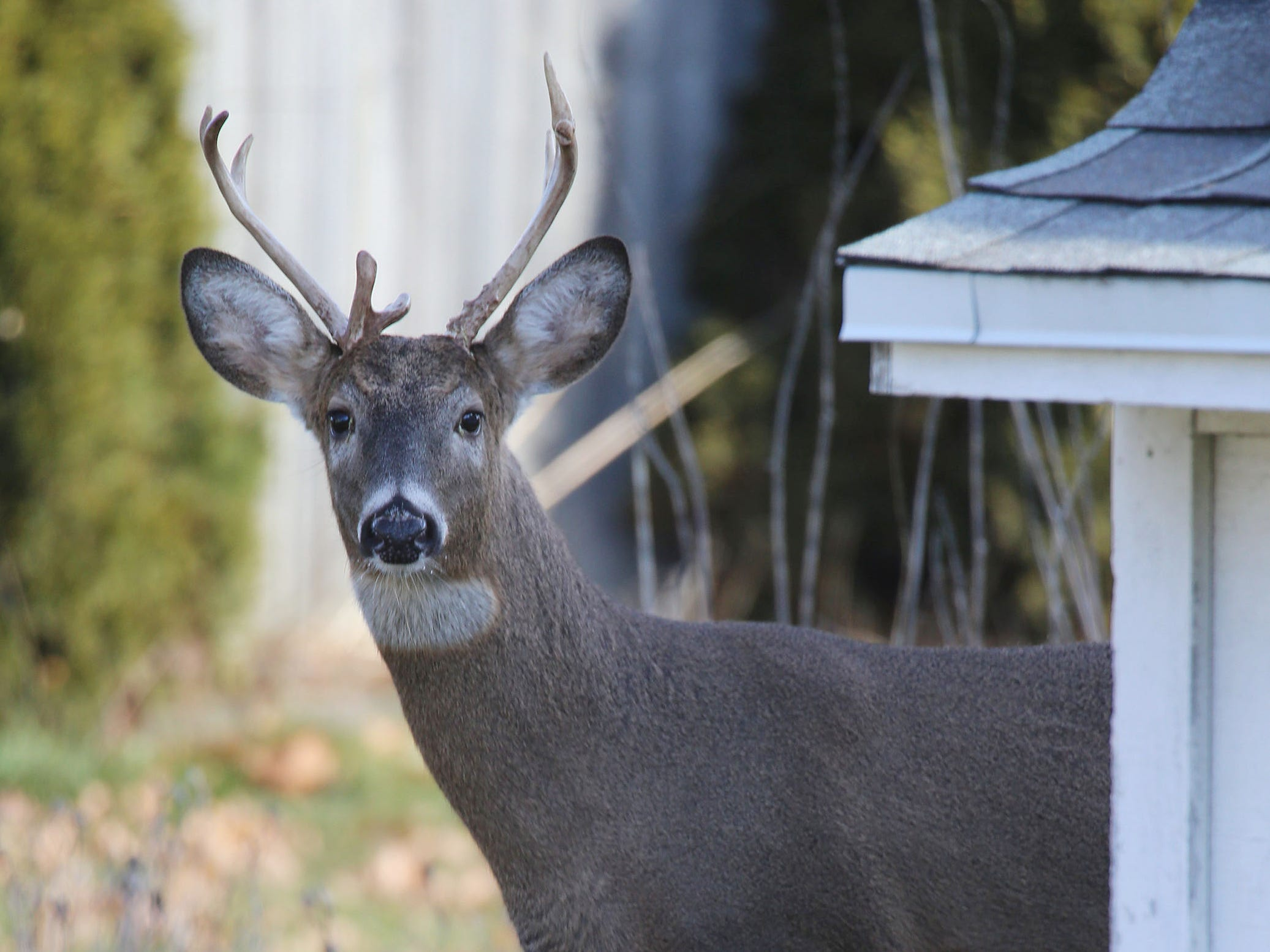 A buck pokes around in a backyard in the 1000 block of North 23rd Street in Sheboygan, Tuesday, November 27, 2018 in Sheboygan, Wis.