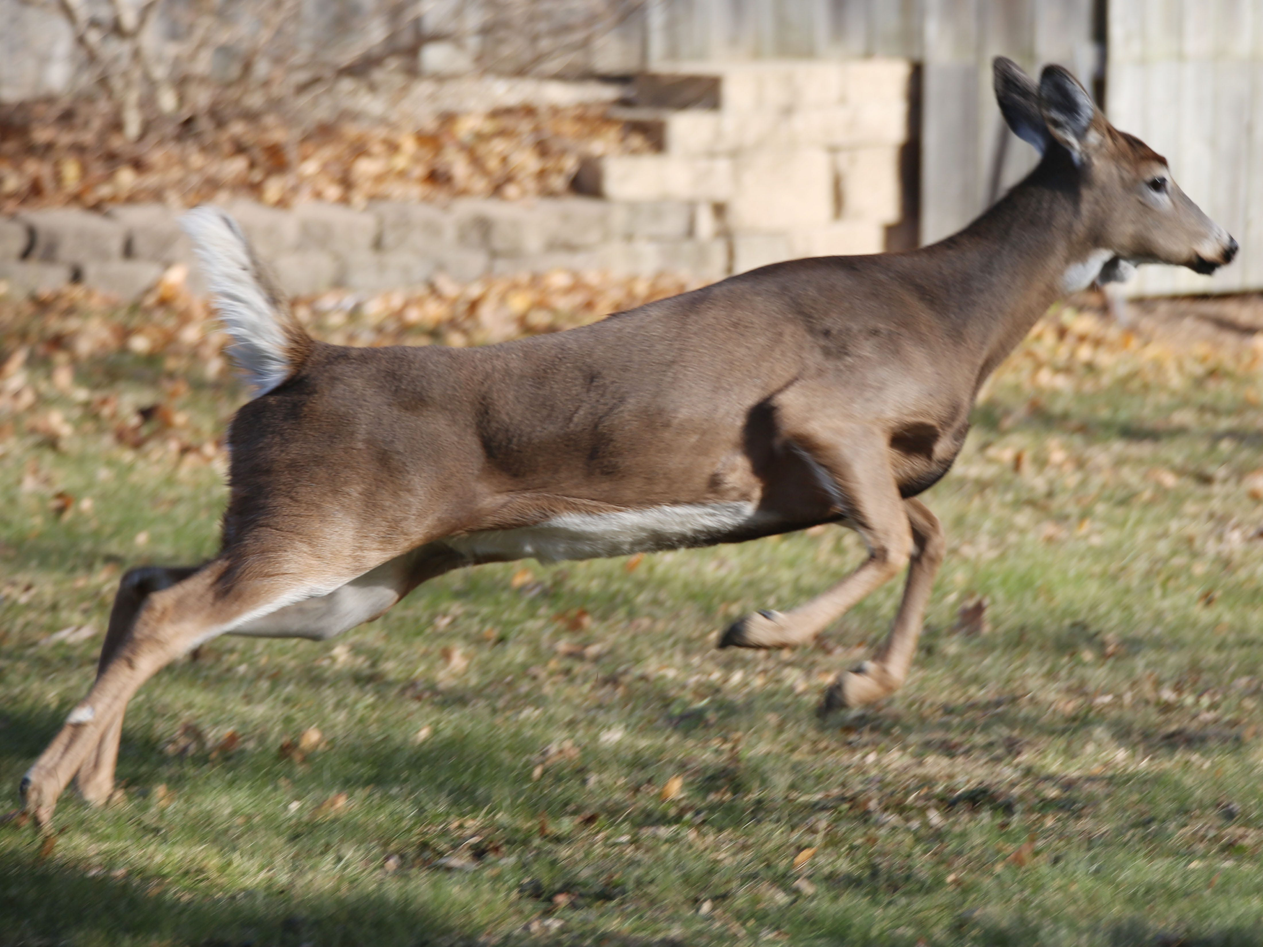 A doe leaps around in a backyard in the 1000 block of North 23rd Street in Sheboygan, Tuesday, November 27, 2018 in Sheboygan, Wis.
