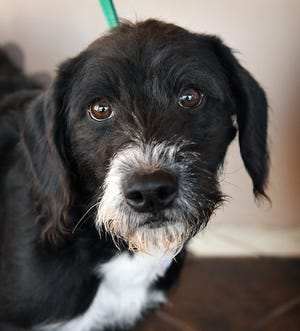 Sally is a 6-month old, black and white, terrier mixed breed. She is vaccinated, spayed and microchipped. Sally is energetic, playful and available for adoption at the Humane Society of Wichita County.