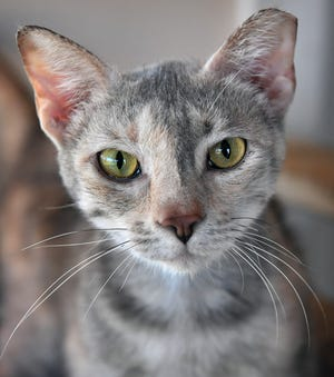 Quinn is a 6-year old, dilute calico, domestic shorthaired cat. She has been spayed, vaccinated and microchipped. Quinn is friendly, sweet, social and available for adoption at the Humane Society of Wichita County.