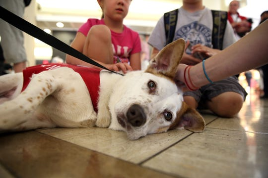 Hazel, a Pointer mix, is part of the LAX Pets Unstressing Passengers (PUP) program in Los Angeles on June 27, 2014.