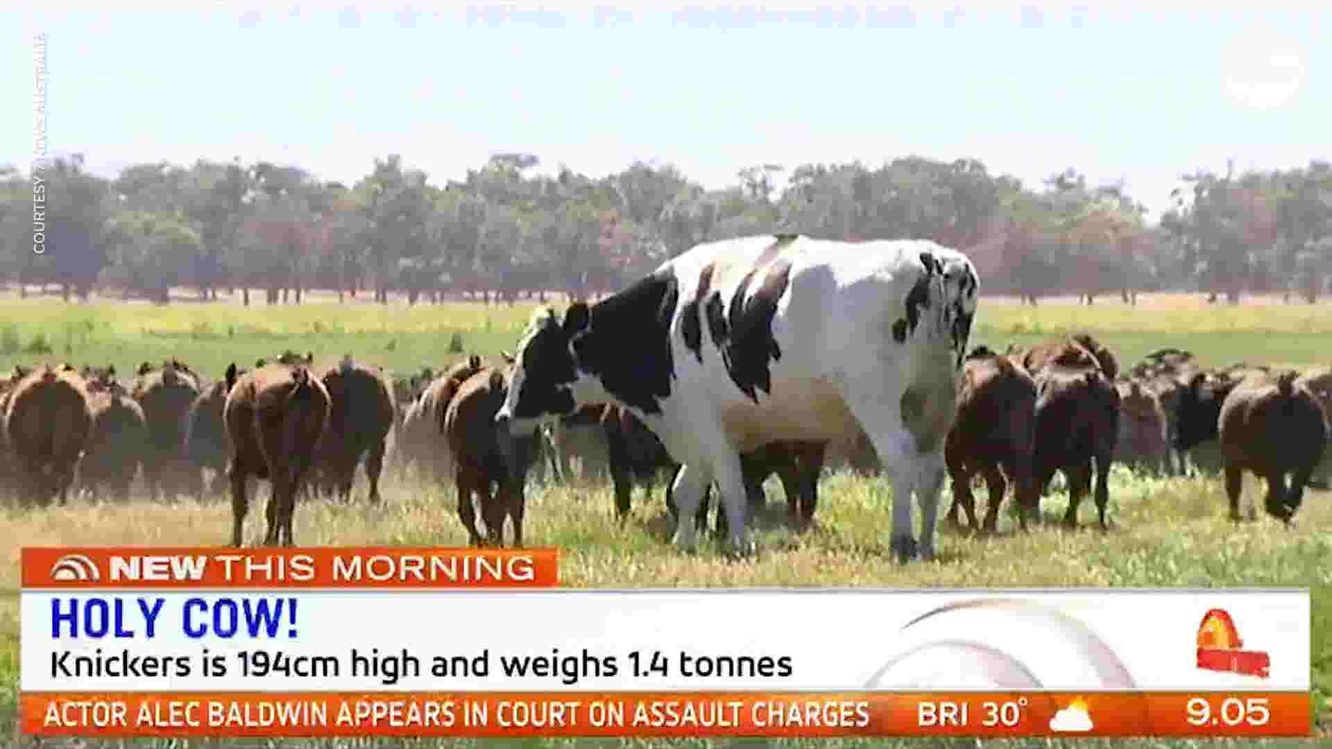 Australia Cattle Knickers A Steer Is Giant And The Internet Loves It