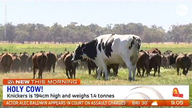 Knickers A Steer From Australia Heavier Than Some Cars