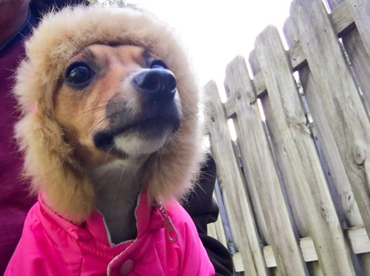 Brrr! Despite her jacket, Midge the Chiweenie was shaking like a leaf in the cold on the morning of Nov. 28, 2018.