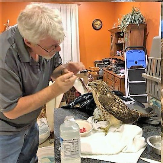 Shane Pyle is giving a red-tail hawk electrolytic fluids and cleaning the beak. Shane and his wife, Angie, stabilize birds they find injured locally and then transport to facilities in Columbus or Mansfield for further treatment.