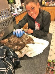 Angie Pyle is shown with an immature Red-Tailed Hawk which had contracted West Nile Virus and was euthanized at the Ohio Bird Sanctuary in Mansfield. Angie and her husband, Shane, found the ill hawk locally.