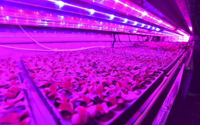 Lettuce seedlings grow under grow lights in seedling troughs in a shipping container at Cass Community Social Services on Wednesday.