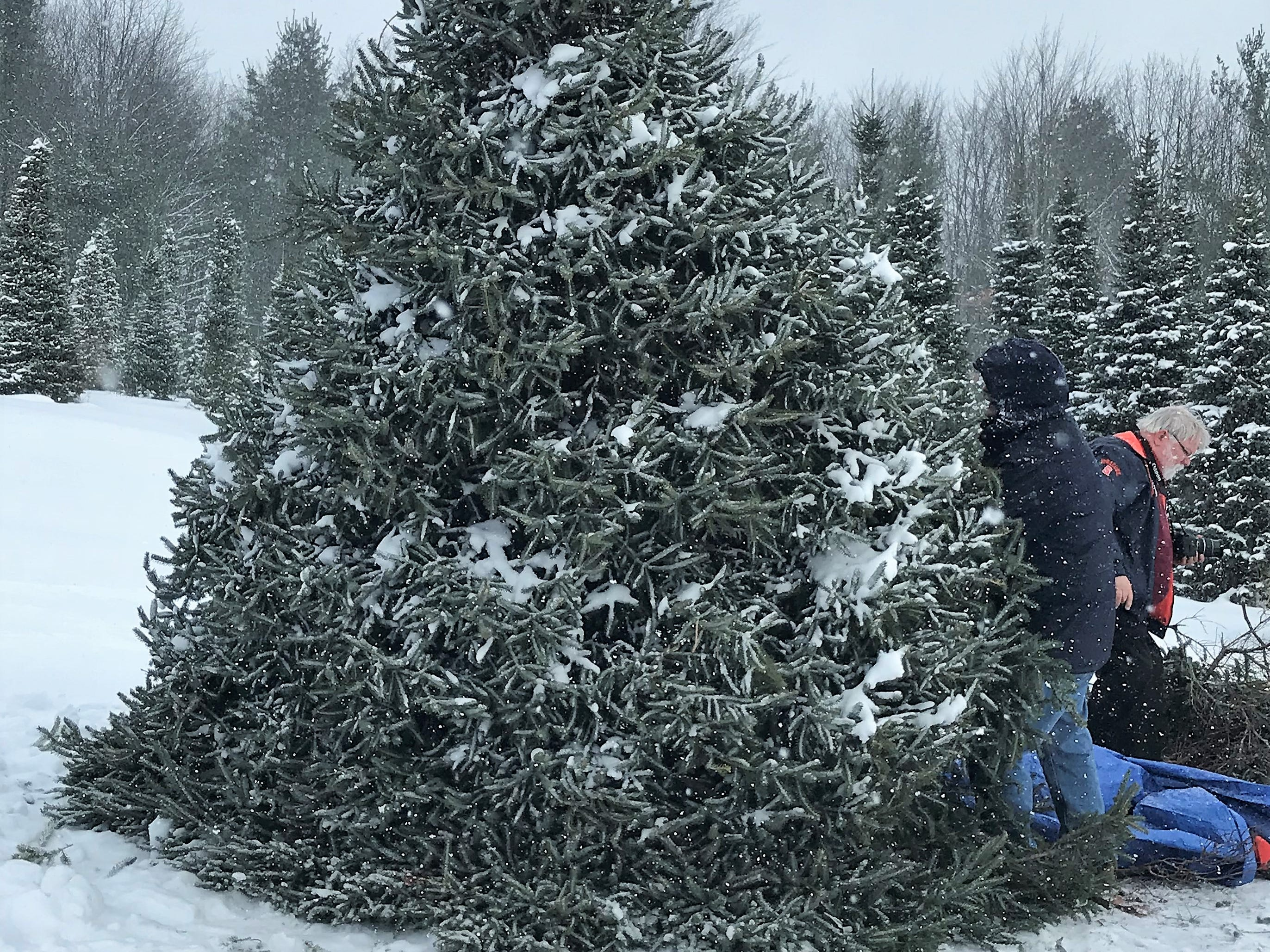 The Norway spruce selected for this year's Arctic League broadcast starts to come down.