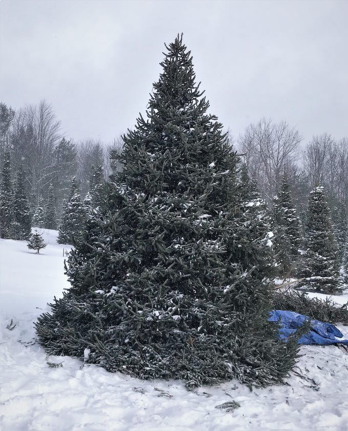 This Norway spruce has been growing on Steve Matkosky's property in Catlin for 25 years.