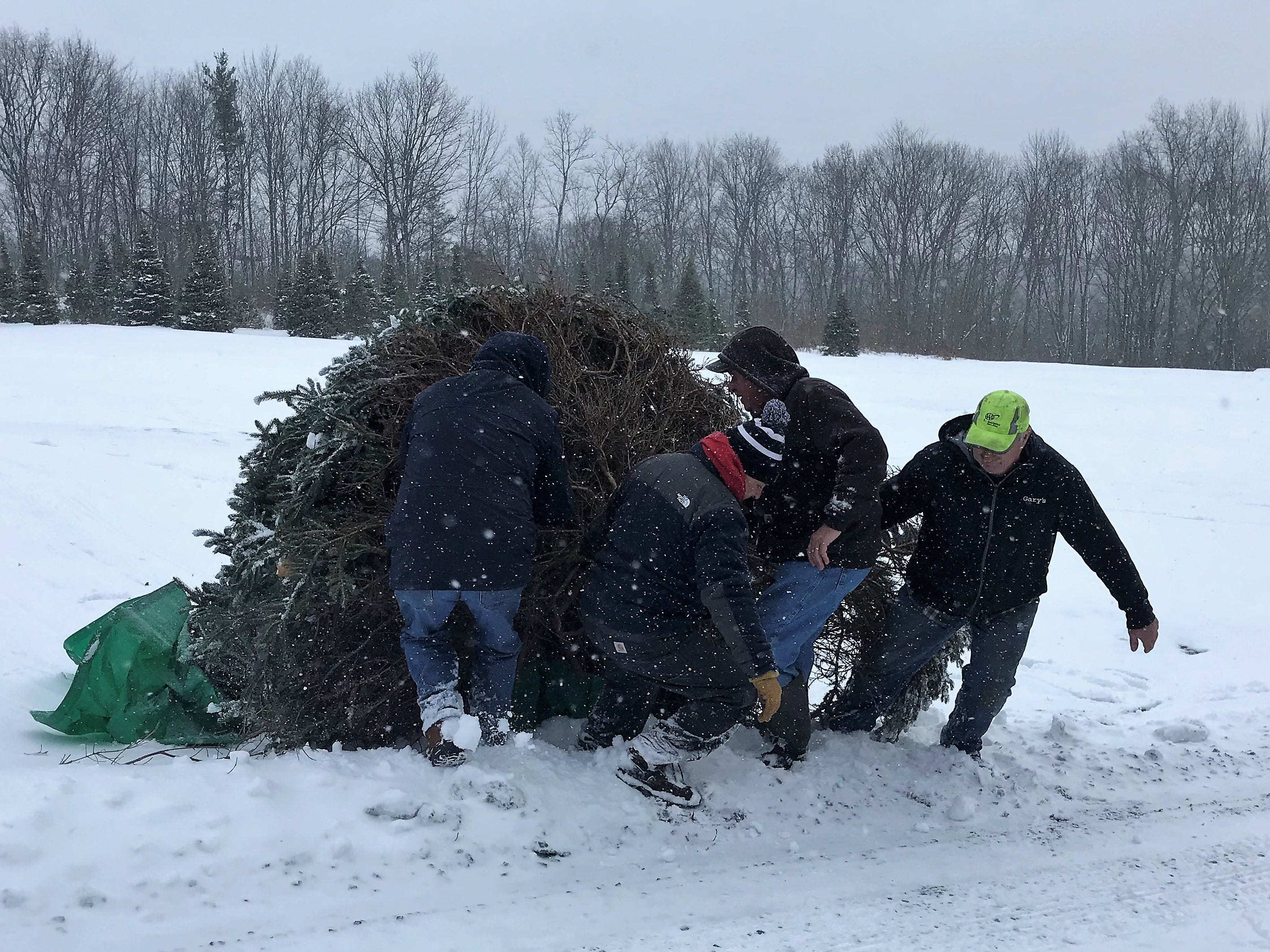 Volunteers drag the tree donated for Sunday's Arctic League annual broadcast toward a waiting tow truck Wednesday morning.
