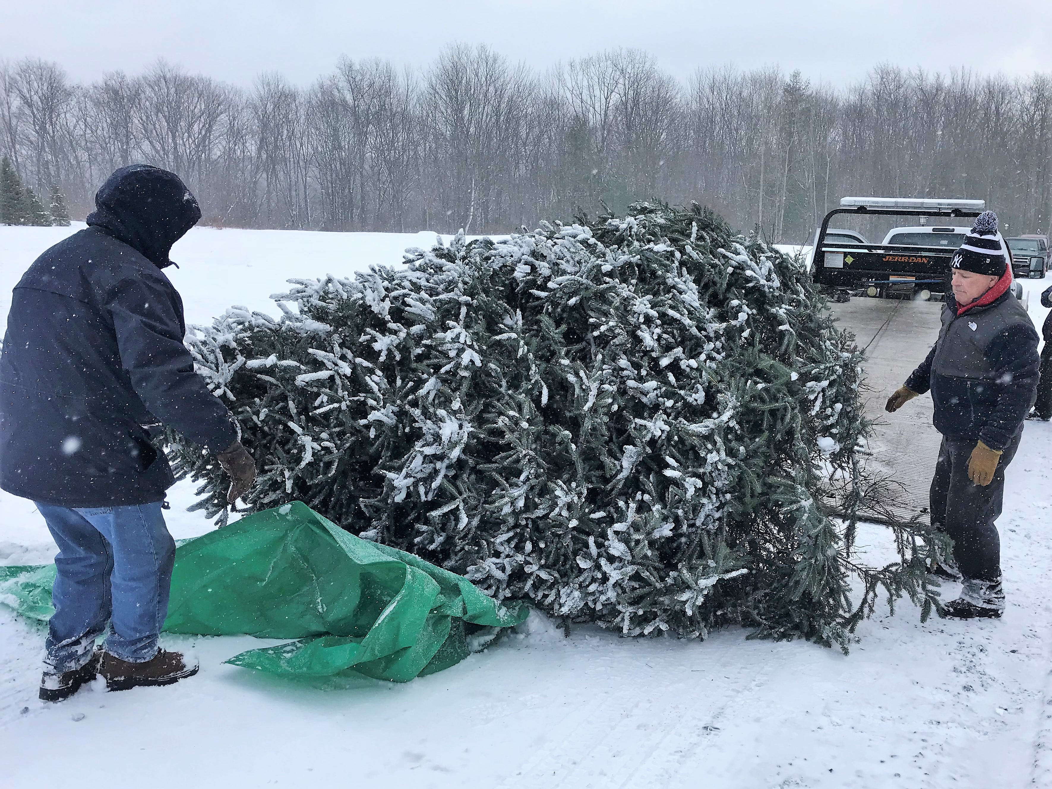 A Norway spruce donated by Steve Matkosky for the annual Arctic League broadcast waits to be loaded on a tow truck Wednesday morning.
