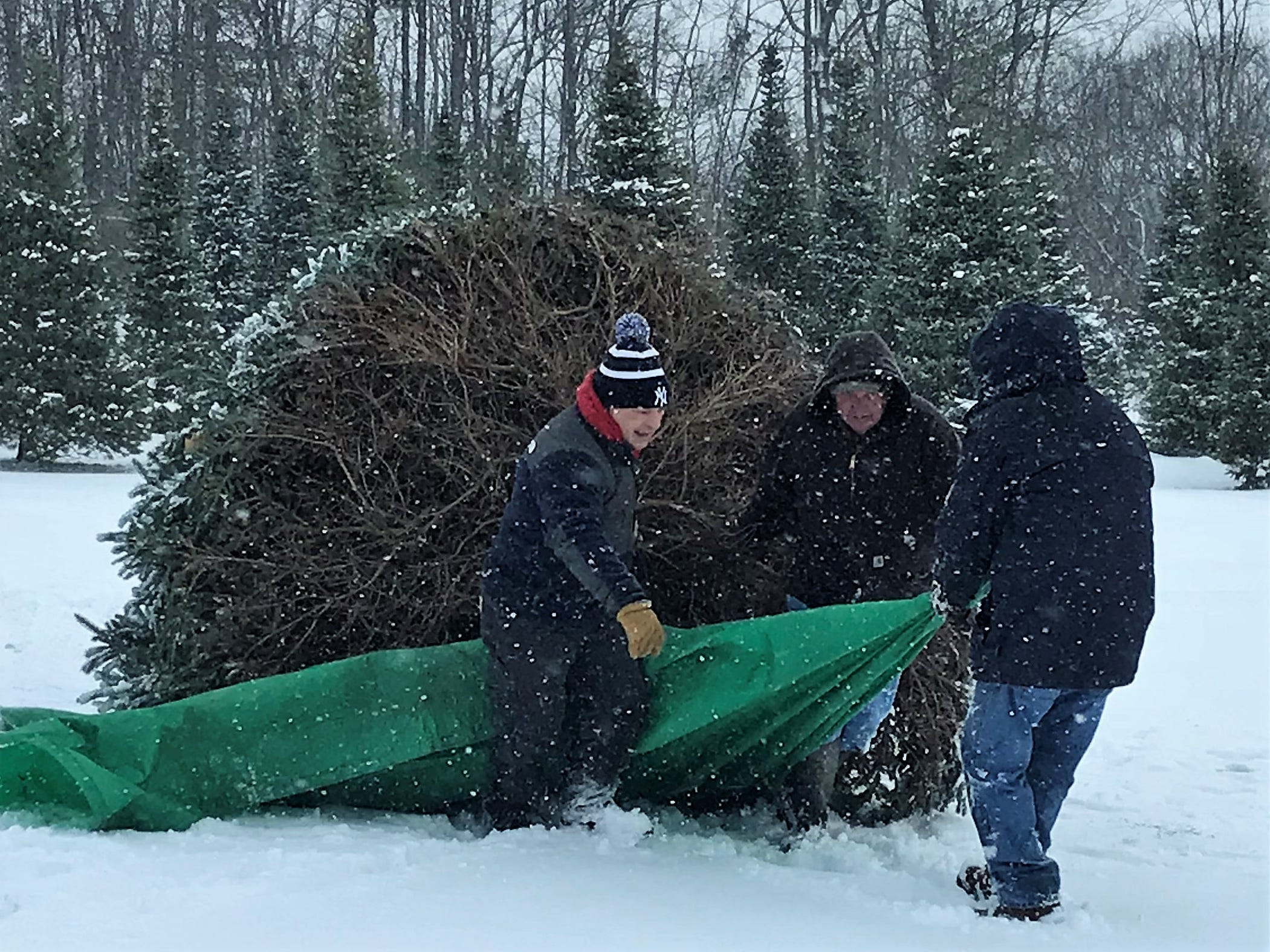 Arctic League volunteers drag a Norway spruce donated by Steve Matkosky of Catlin to a waiting tow truck.