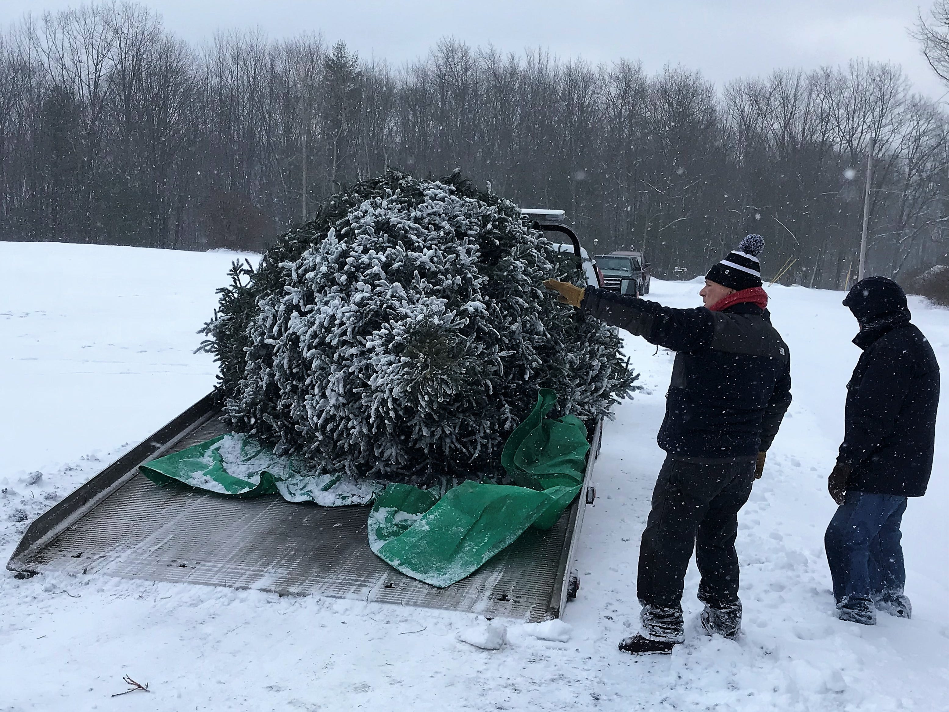 A donated Christmas tree is ready to be delivered to the Clemens Center in Elmira for the annual Arctic League broadcast.