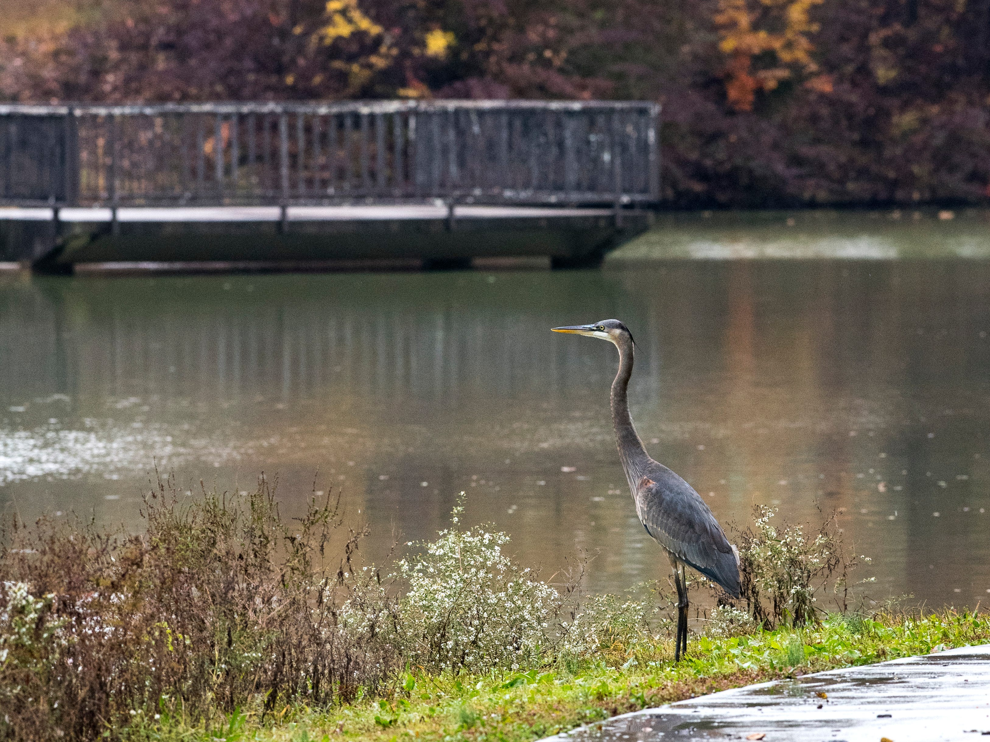 A Great Blue Heron stands on the edge of Evansmeer Lake in Garvin Park, Wednesday morning Oct. 31, 2018.