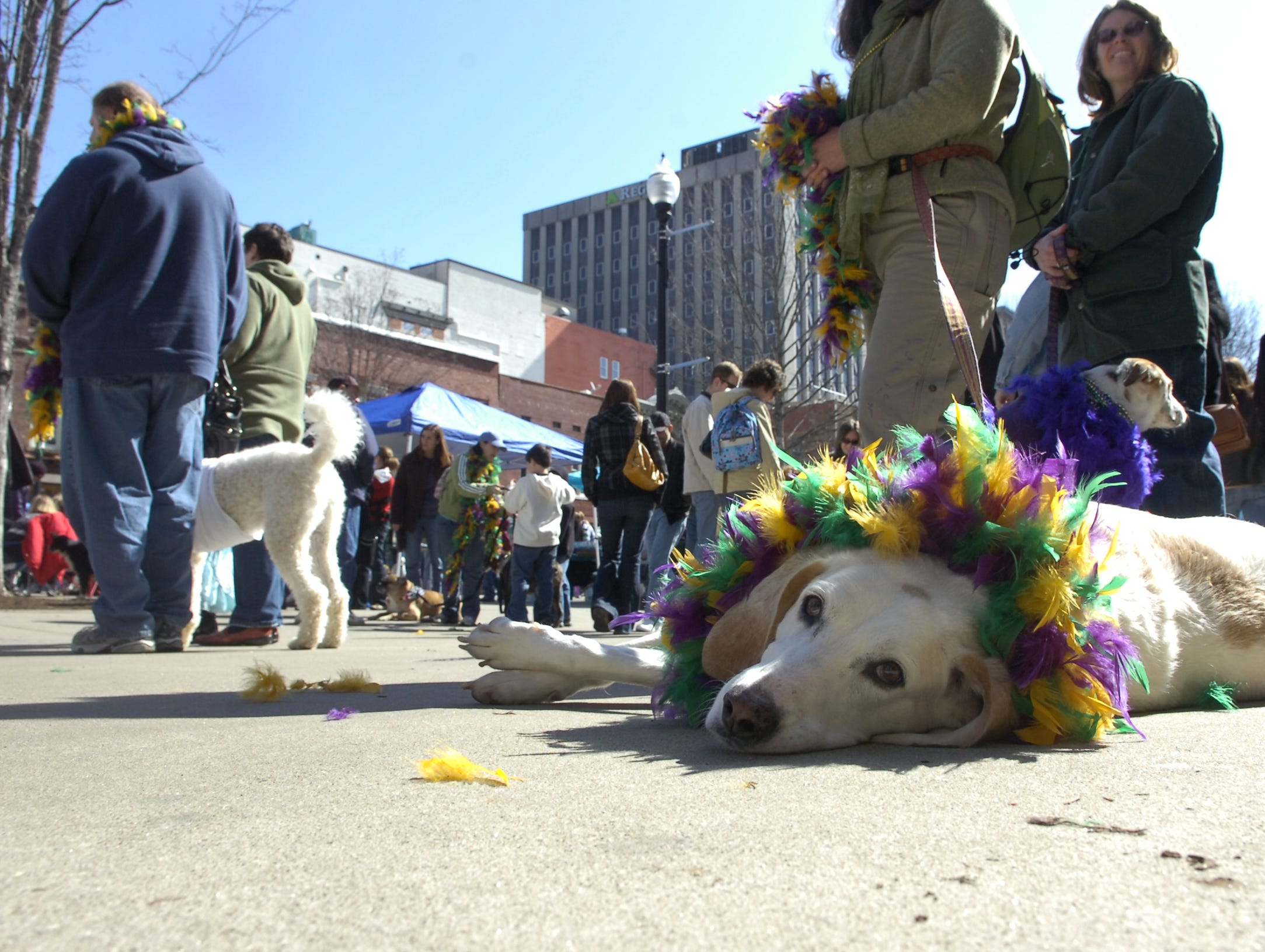 """Mr. Big"" takes a rest in Market Square after the second annual ""Mardi Growl Dog Parade"" on Saturday in downtown Knoxville. The event drew over 500 dogs and there owners who dressed up in Mardi Gras themed costumes. The parade was presented by PetSafe Village and Invisible Fence Brand and produced by the City of Knoxville and Young-Williams Animal Center."