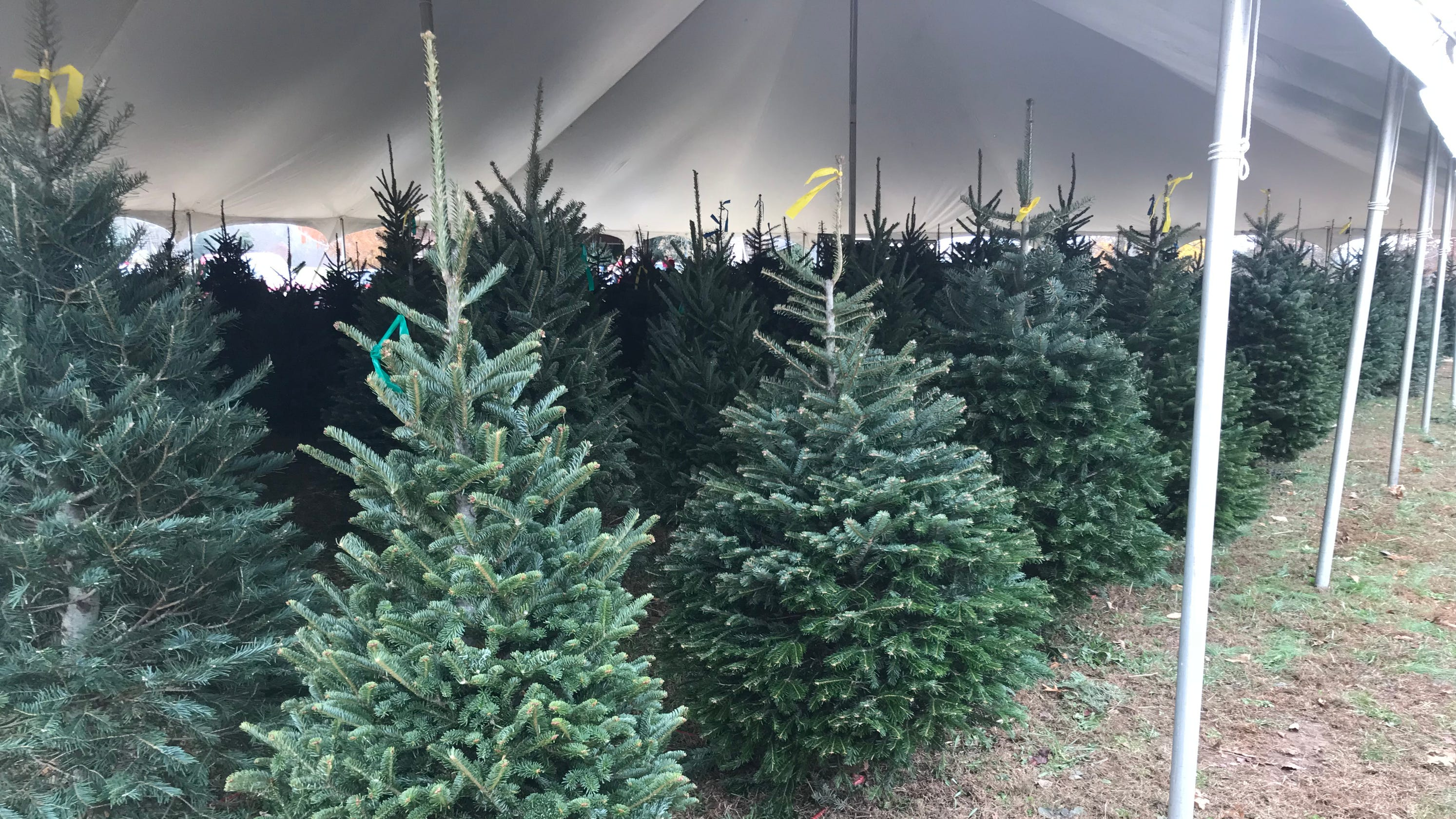 Tennesseans, why are you paying more for cut Christmas trees here?