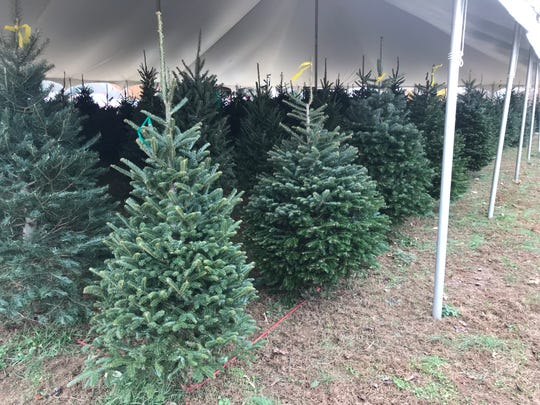 Rows of pre-cut trees at Bluebird Christmas Tree Farm wait to be taken to homes and decorated for the holidays.