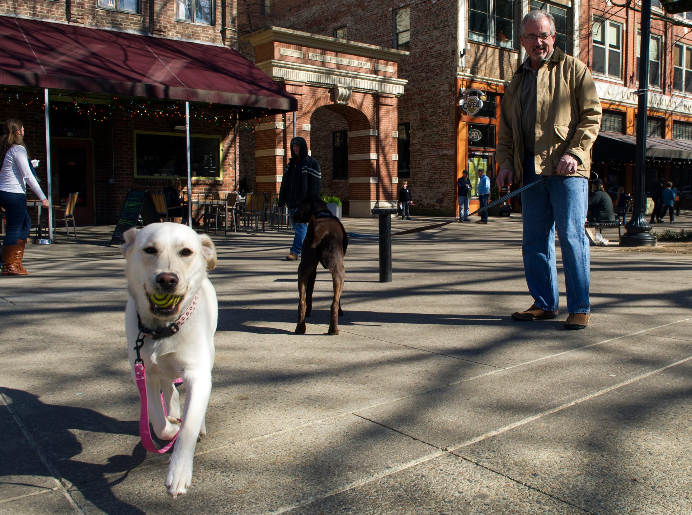 Butch Morrow, a downtown resident, walks his Labradores Sophie, left, and Jack, right, on Market Square downtown Saturday, Feb. 9, 2013.  (ADAM BRIMER/NEWS SENTINEL)
