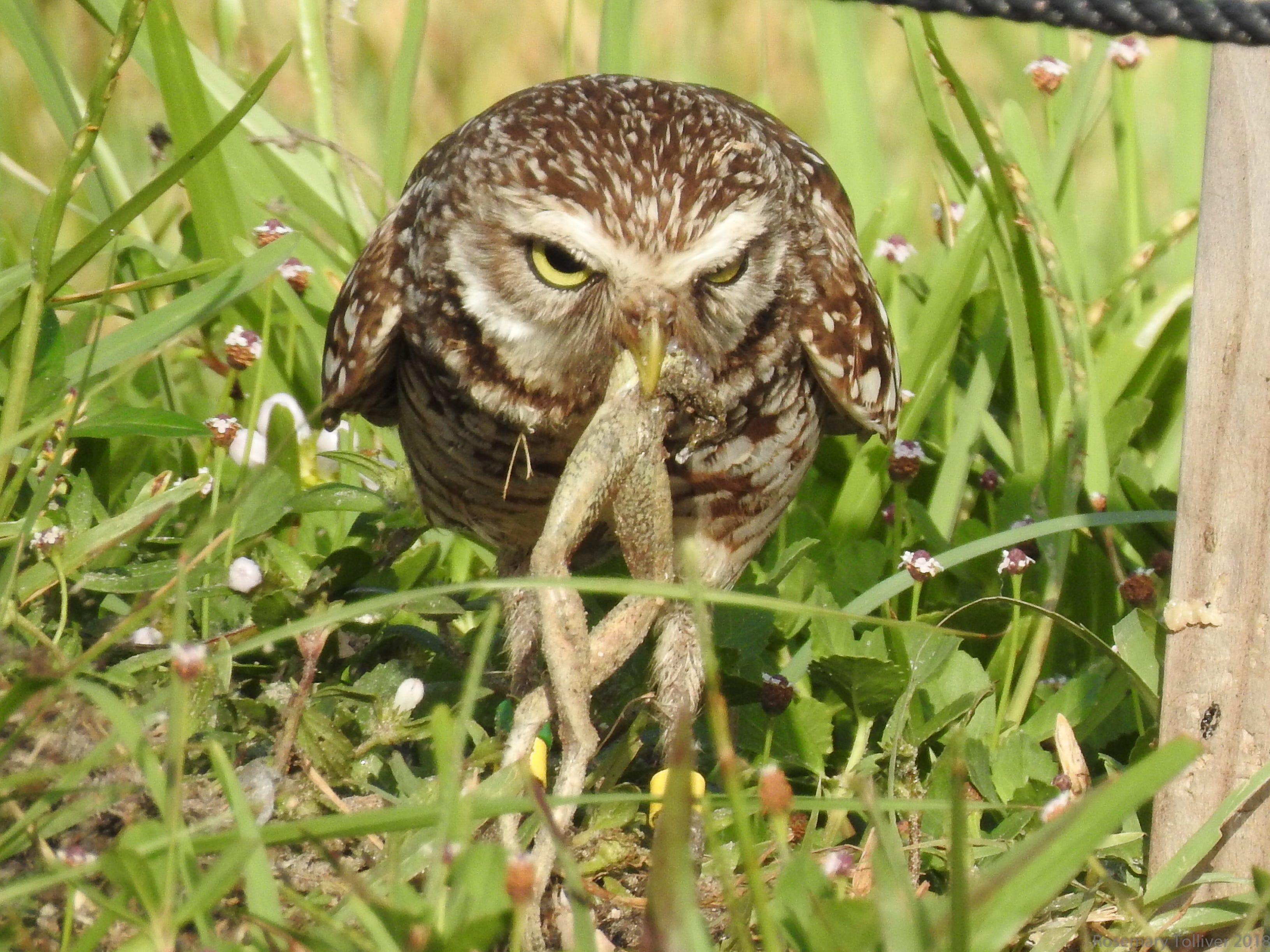 Rosemary Tolliver, of Marco Island, took this photo of an owl enjoying frog's legs.