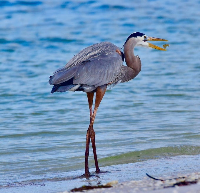 Laurie Krueger of Estero took this photo of a heron enjoying Thanksgiving.